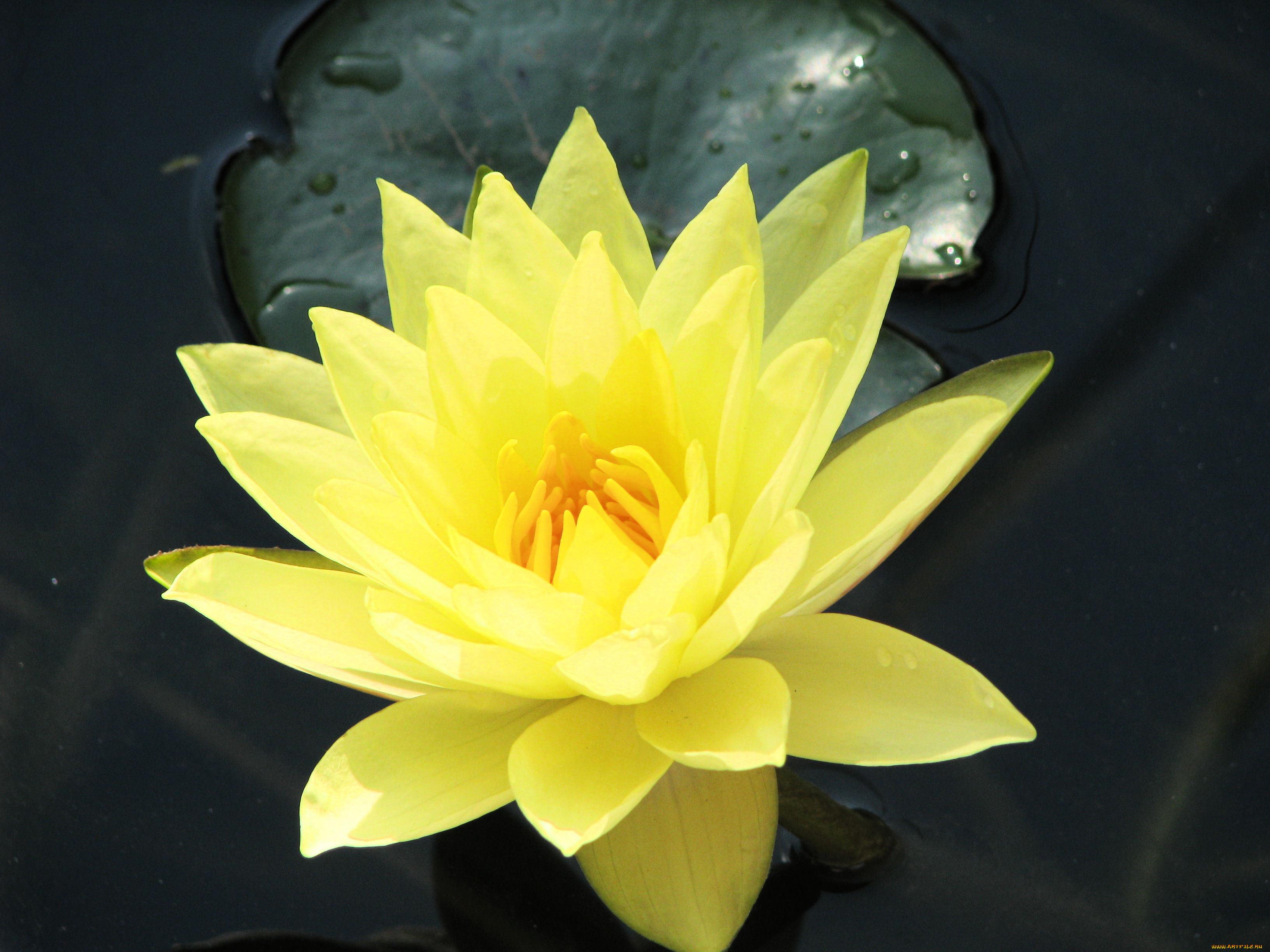 Цветы лилии водяные нимфеи кувшинки